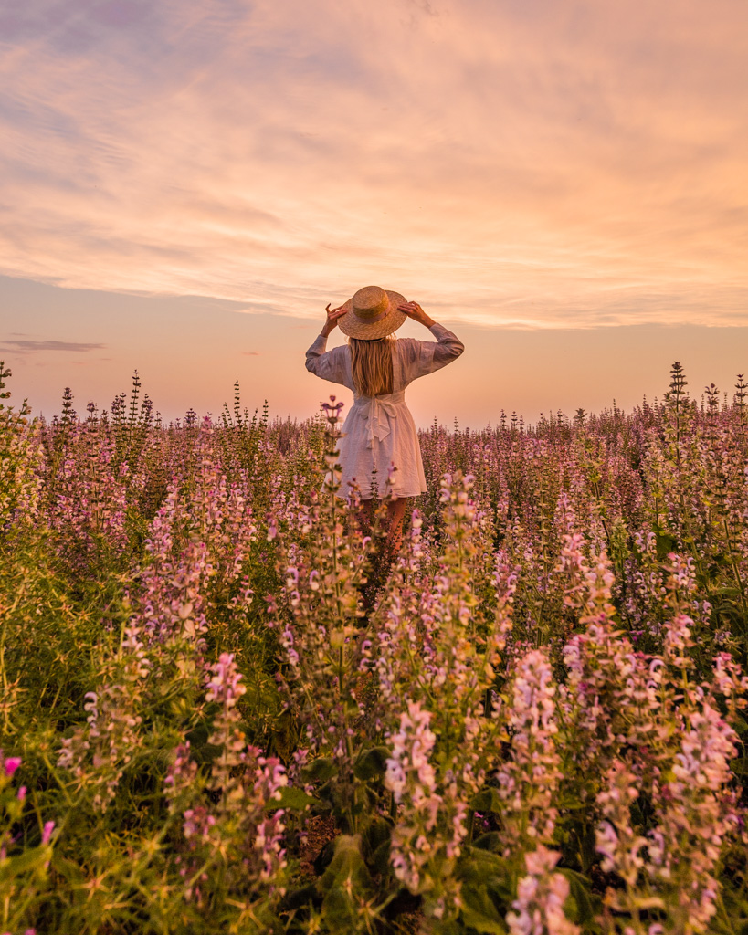 Sunset in a sage field in Provence, France