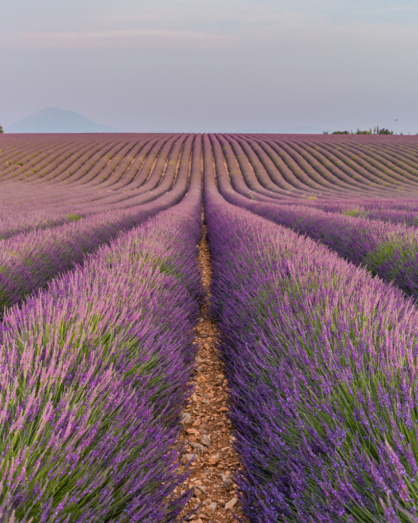 Sunset in the lavender fields in Provence, France