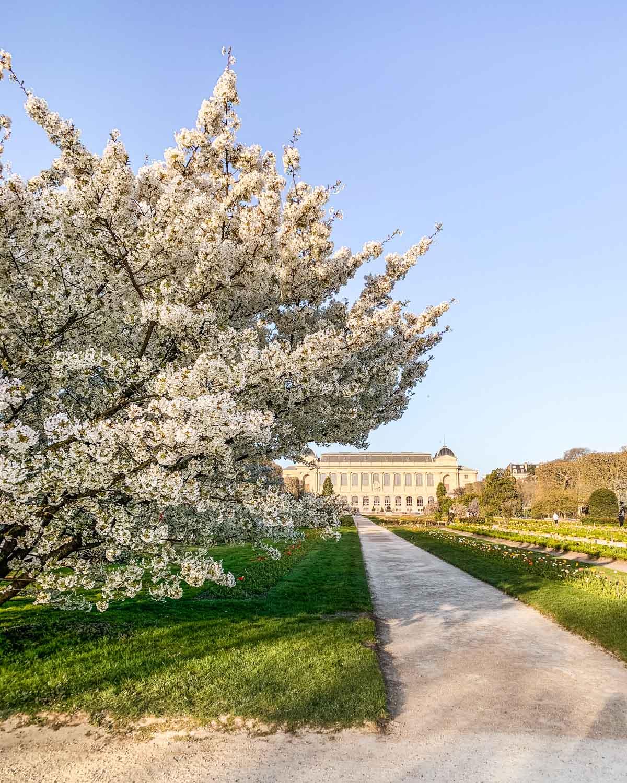White cherry blossoms in the Jardin des Plantes - Paris