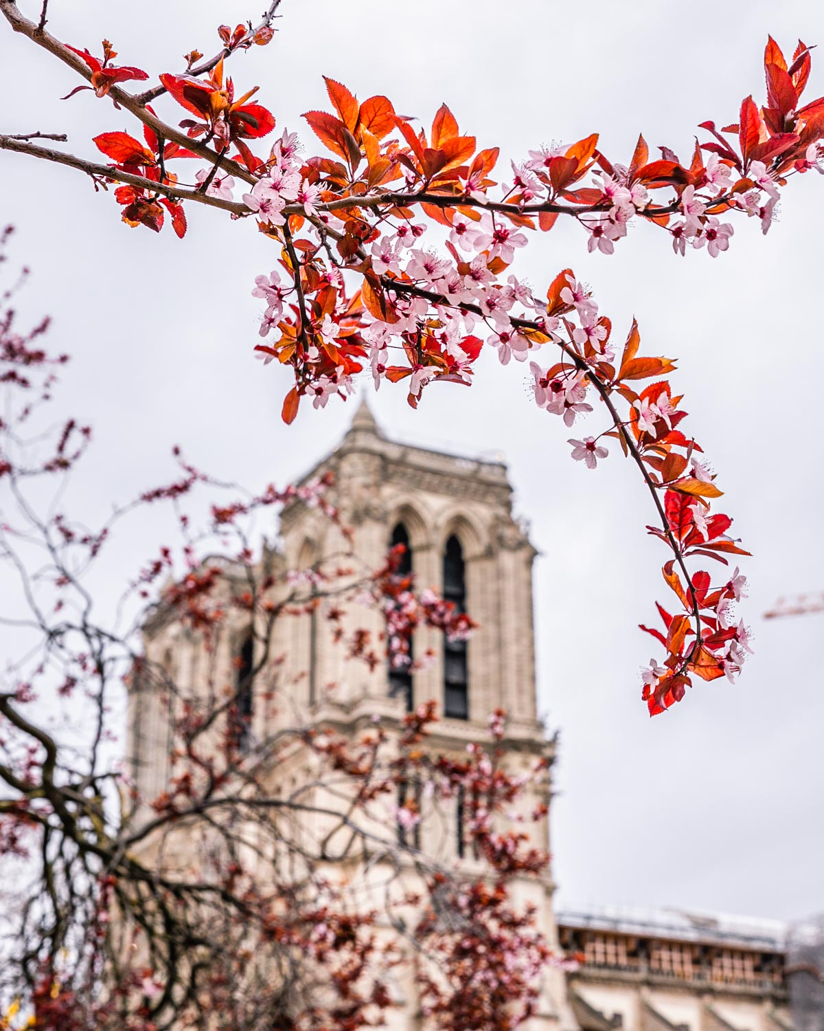 Plum blossoms with Notre Dame Cathedral in the Square René Viviani - Paris